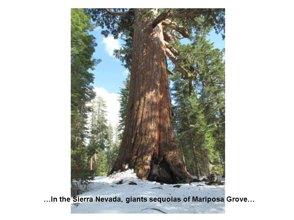 …In the Sierra Nevada, giants sequoias of Mariposa Grove…