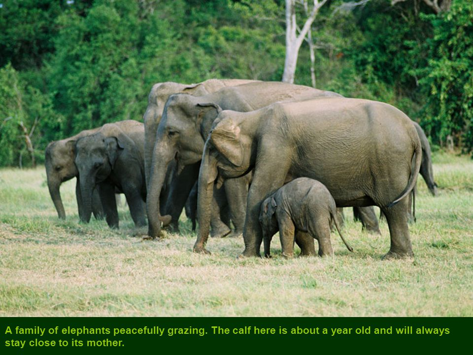 A family of elephants peacefully grazing.