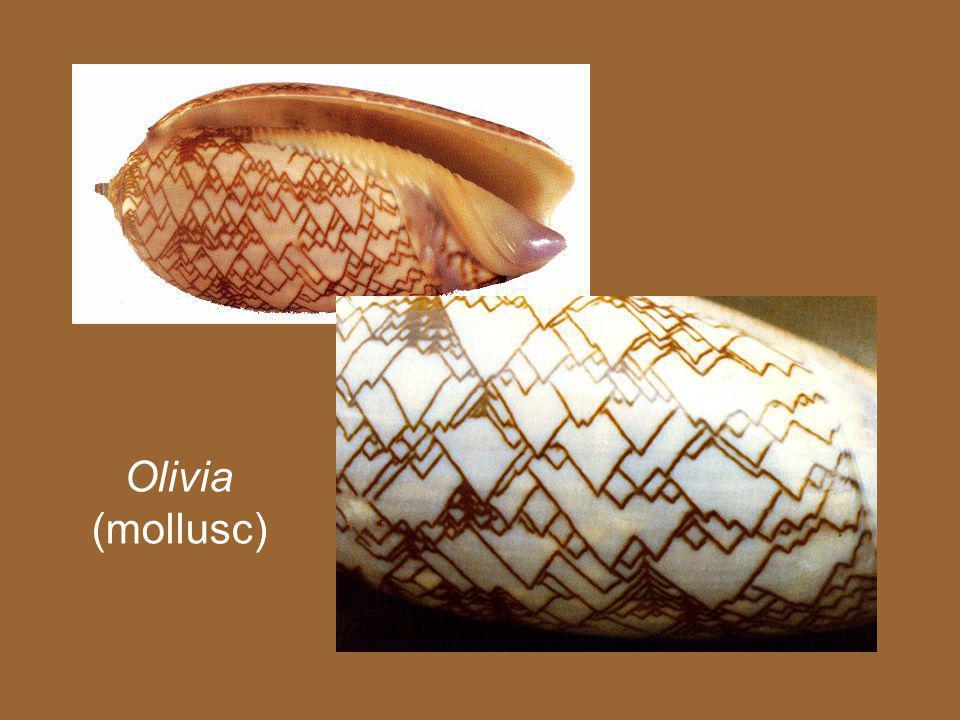 Olivia (mollusc)