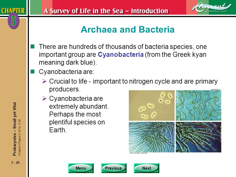 MenuPreviousNext 5 - 28 Archaea and Bacteria nThere are hundreds of thousands of bacteria species, one important group are Cyanobacteria (from the Gre