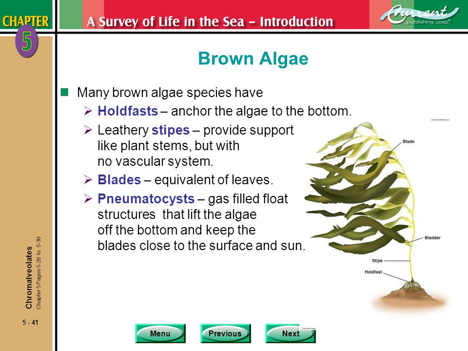 MenuPreviousNext 5 - 41 Brown Algae nMany brown algae species have Holdfasts – anchor the algae to the bottom. Leathery stipes – provide support like