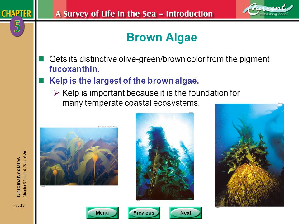MenuPreviousNext 5 - 42 Brown Algae nGets its distinctive olive-green/brown color from the pigment fucoxanthin. nKelp is the largest of the brown alga