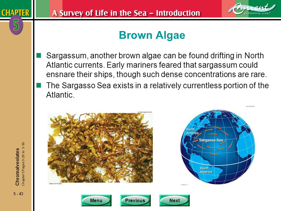 MenuPreviousNext 5 - 43 Brown Algae nSargassum, another brown algae can be found drifting in North Atlantic currents.