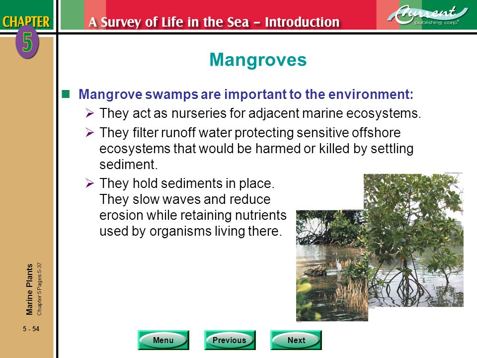 MenuPreviousNext 5 - 54 Mangroves nMangrove swamps are important to the environment: They act as nurseries for adjacent marine ecosystems. They filter