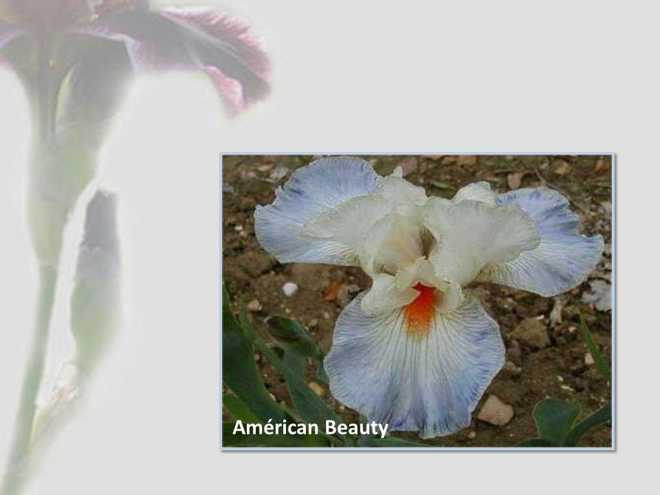 Américan Beauty