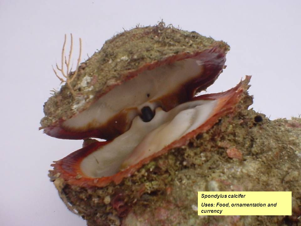 Spondylus calcifer Uses: Food, ornamentation and currency