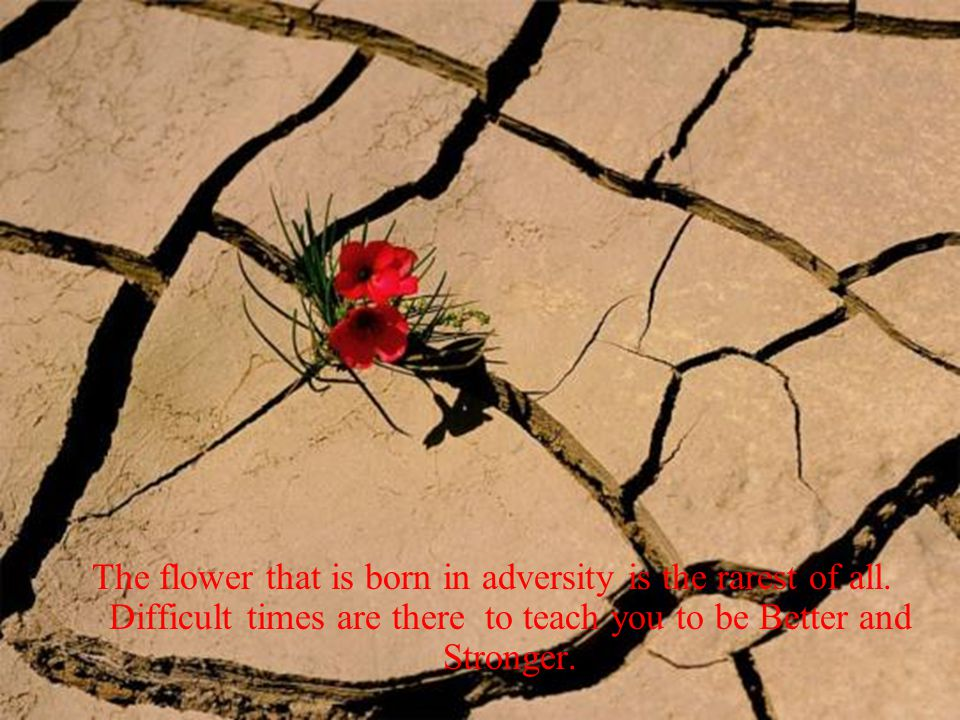 The flower that is born in adversity is the rarest of all.