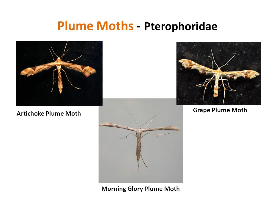 Plume Moths - Pterophoridae Artichoke Plume Moth Grape Plume Moth Morning Glory Plume Moth
