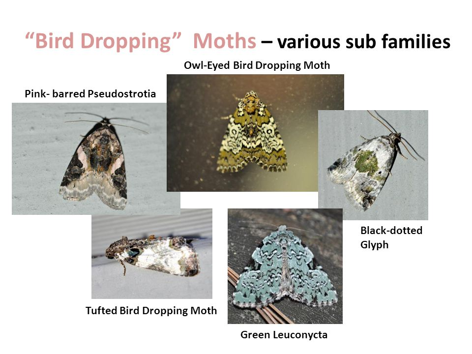 Bird Dropping Moths – various sub families Pink- barred Pseudostrotia Owl-Eyed Bird Dropping Moth Black-dotted Glyph Tufted Bird Dropping Moth Green Leuconycta