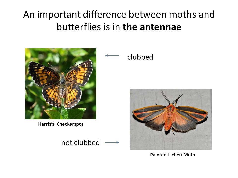 An important difference between moths and butterflies is in the antennae Harriss Checkerspot Painted Lichen Moth clubbed not clubbed