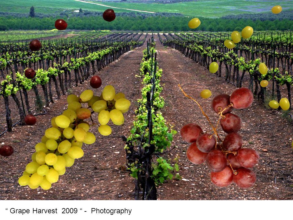 Grape Harvest 2009 - Photography
