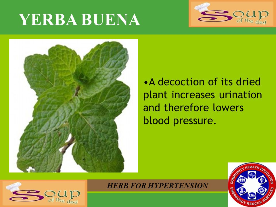 YERBA BUENA HERB FOR HYPERTENSION A decoction of its dried plant increases urination and therefore lowers blood pressure.