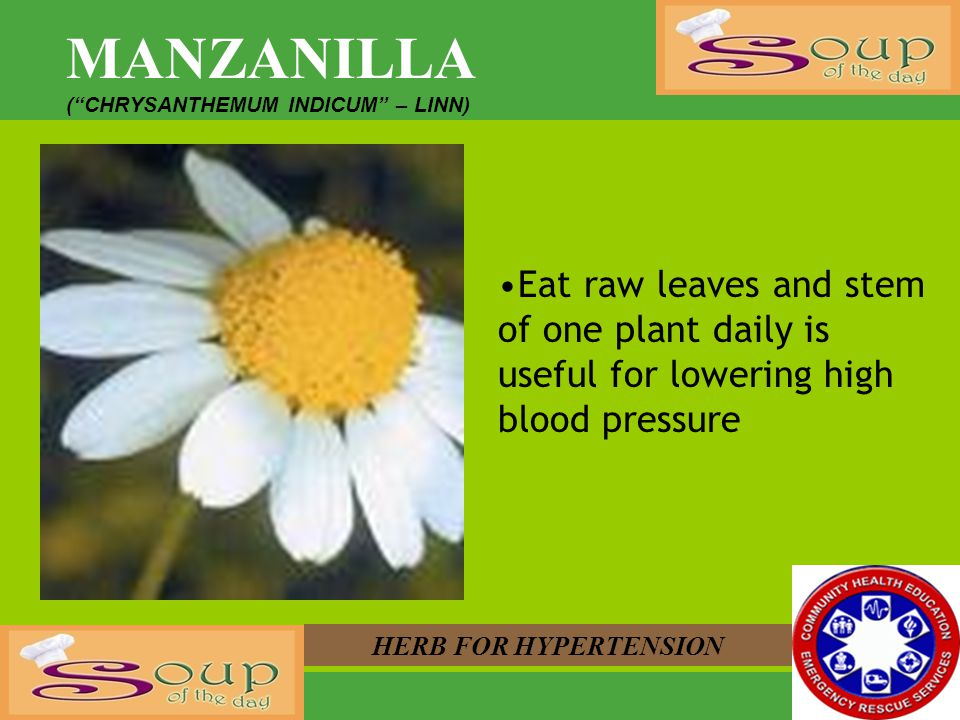 MANZANILLA (CHRYSANTHEMUM INDICUM – LINN) HERB FOR HYPERTENSION Eat raw leaves and stem of one plant daily is useful for lowering high blood pressure
