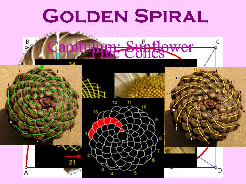 Golden Spiral Nautilus Shell Capitulum: Sunflower Pine Cones