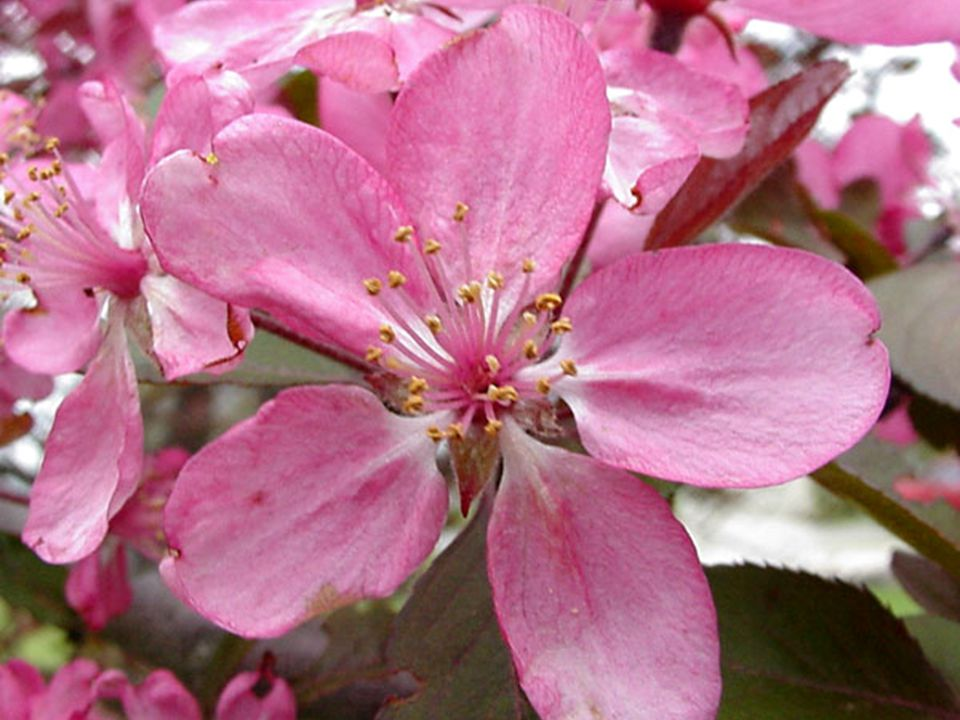 Family Rosaceae