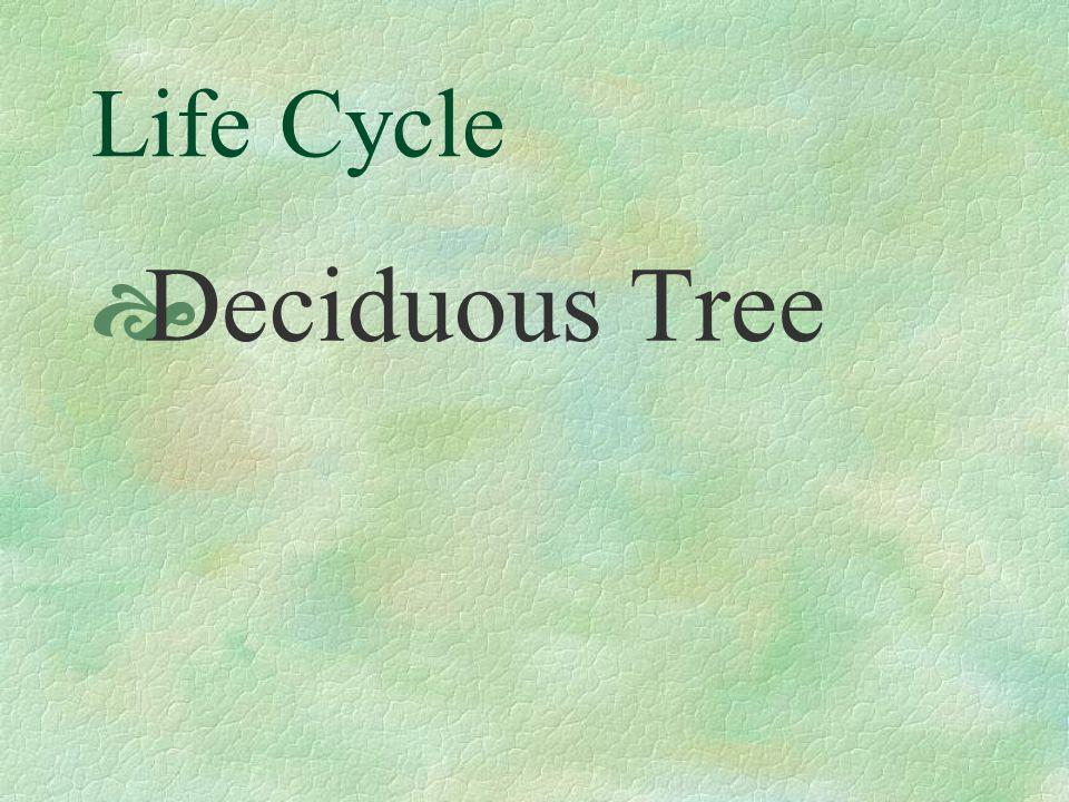 Life Cycle Deciduous Tree
