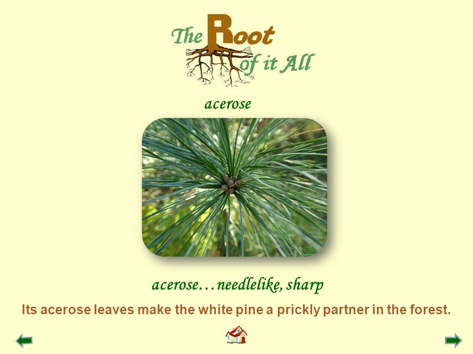 acerose acerose…needlelike, sharp Its acerose leaves make the white pine a prickly partner in the forest.