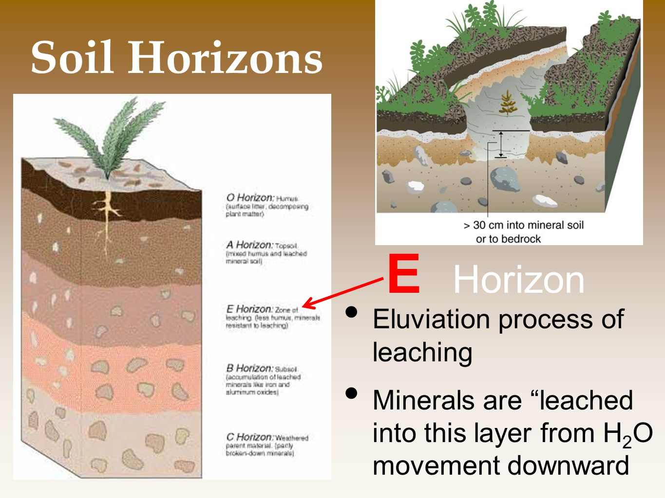 Soil Horizons E Horizon Eluviation process of leaching Minerals are leached into this layer from H 2 O movement downward
