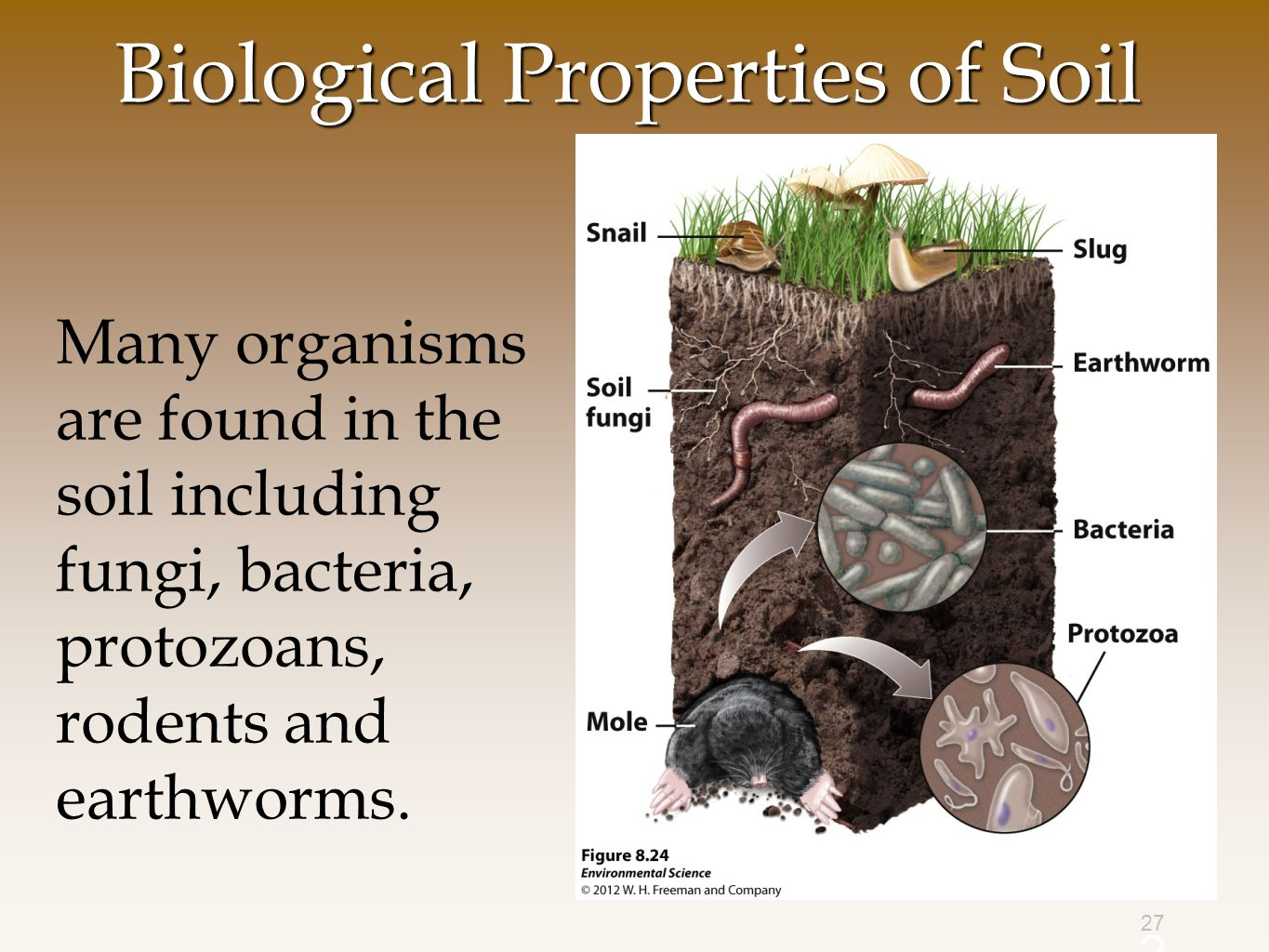 27 Biological Properties of Soil Many organisms are found in the soil including fungi, bacteria, protozoans, rodents and earthworms.