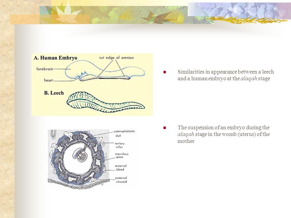 Similarities in appearance between a leech and a human embryo at the alaqah stage The suspension of an embryo during the alaqah stage in the womb (uterus) of the mother