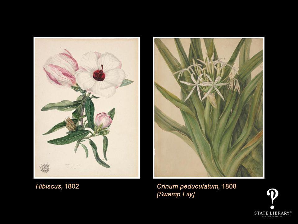 Hibiscus, 1802Crinum peduculatum, 1808 [Swamp Lily]