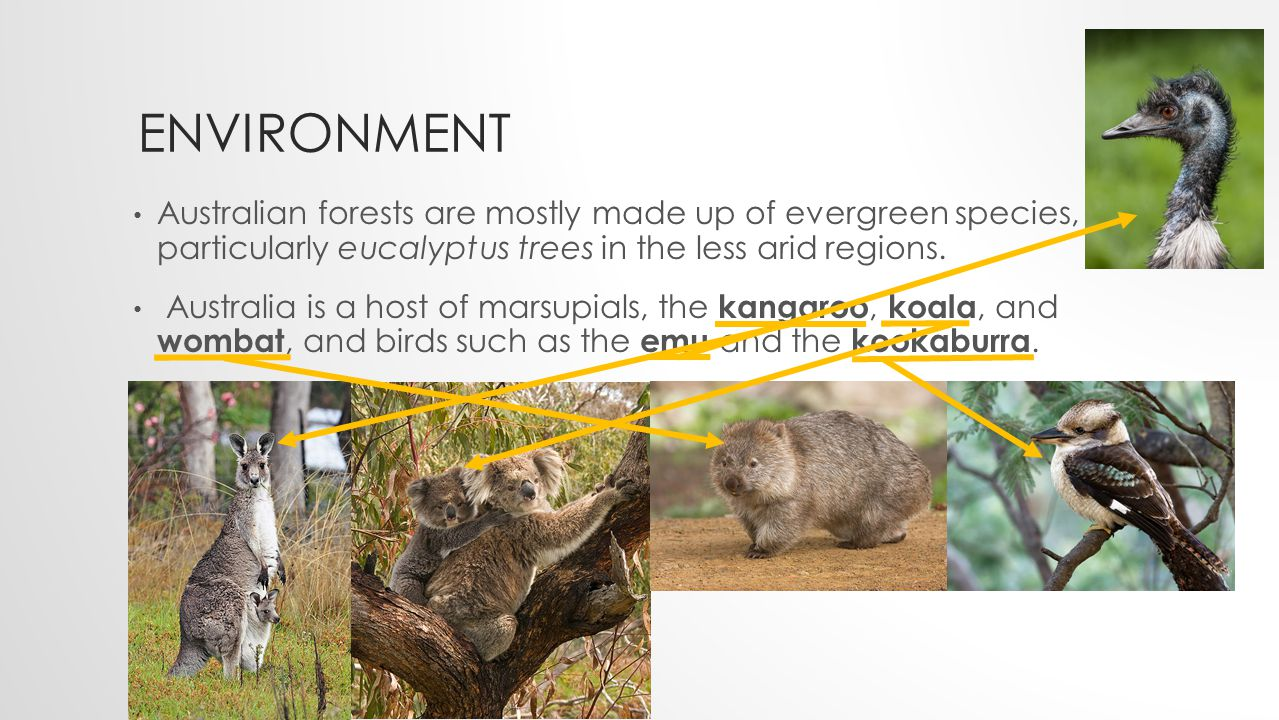 ENVIRON MENT The koala and the eucalyptus form an iconic Australian pair