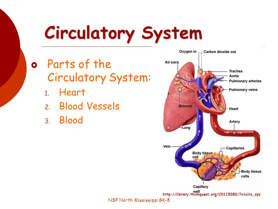 NSF North Mississippi GK-8 Circulatory System Parts of the Circulatory System: 1.