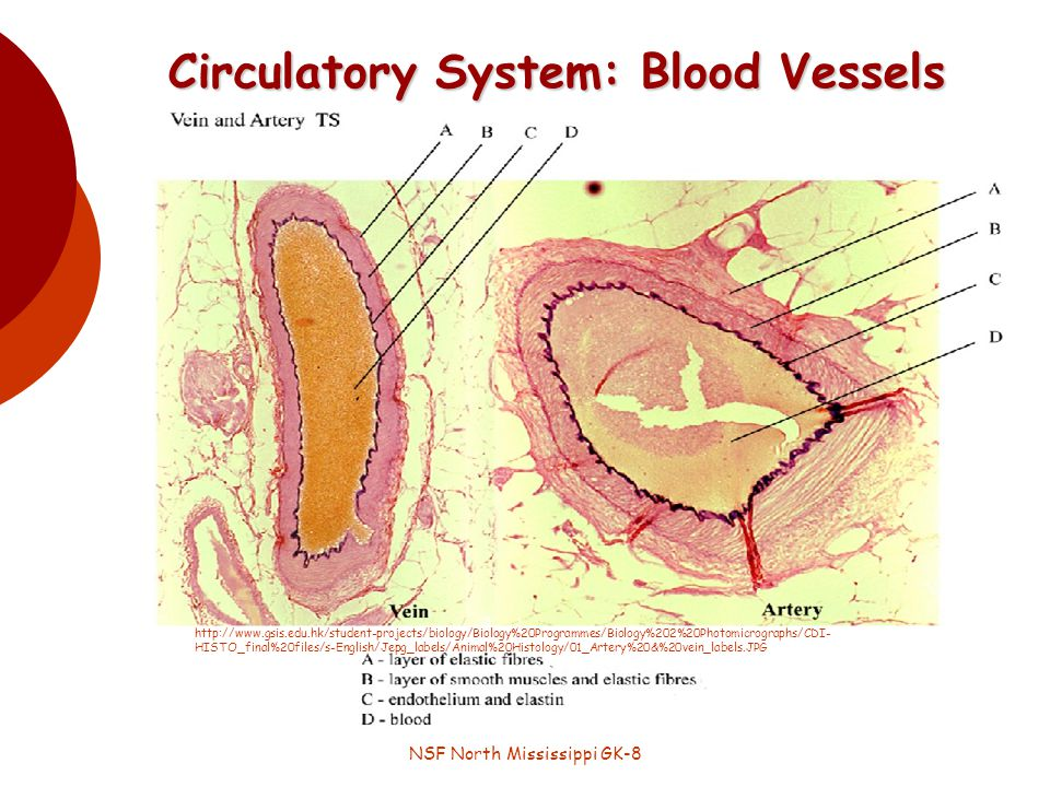 NSF North Mississippi GK-8 Circulatory System: Blood Vessels http://www.gsis.edu.hk/student-projects/biology/Biology%20Programmes/Biology%202%20Photomicrographs/CDI- HISTO_final%20files/s-English/Jepg_labels/Animal%20Histology/01_Artery%20&%20vein_labels.JPG