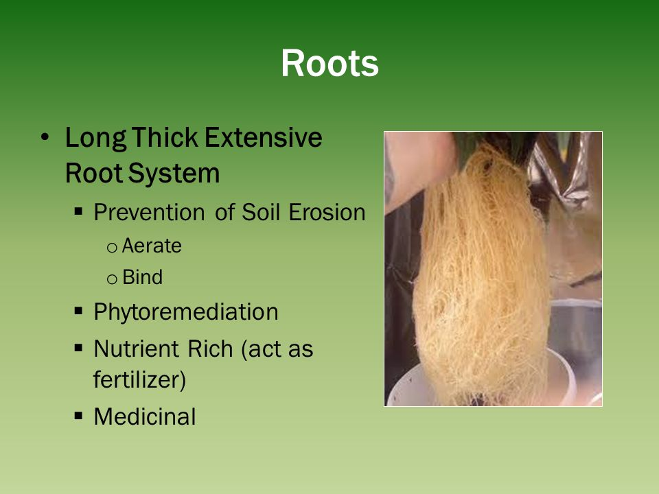 Roots Long Thick Extensive Root System Prevention of Soil Erosion o Aerate o Bind Phytoremediation Nutrient Rich (act as fertilizer) Medicinal