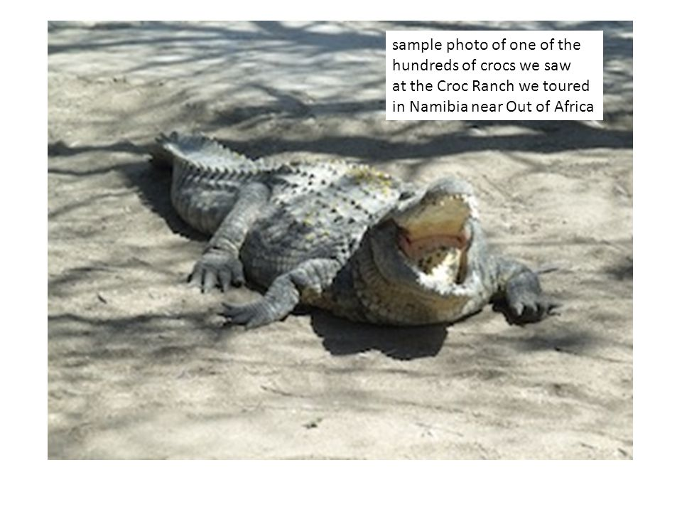 sample photo of one of the hundreds of crocs we saw at the Croc Ranch we toured in Namibia near Out of Africa