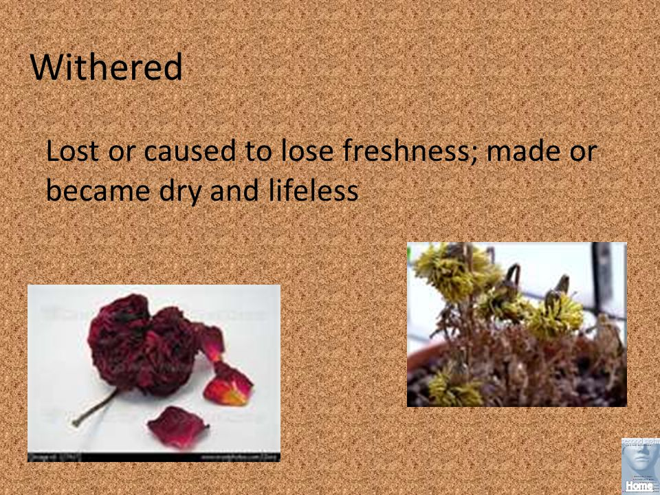 Withered Lost or caused to lose freshness; made or became dry and lifeless