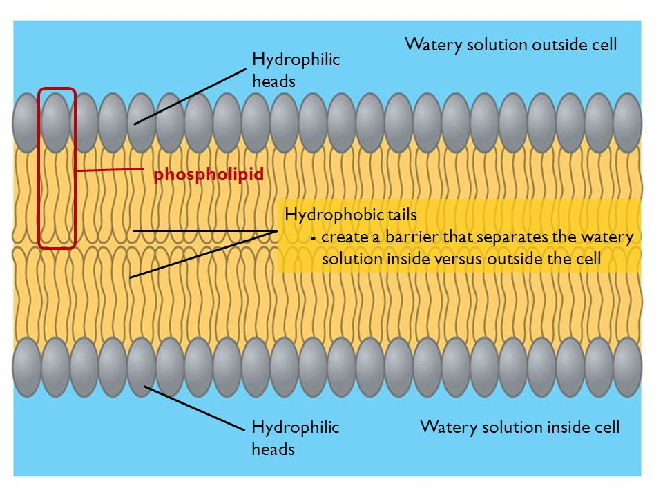 Figure 5.11B Watery solution outside cell Watery solution inside cell Hydrophilic heads Hydrophobic tails - create a barrier that separates the watery