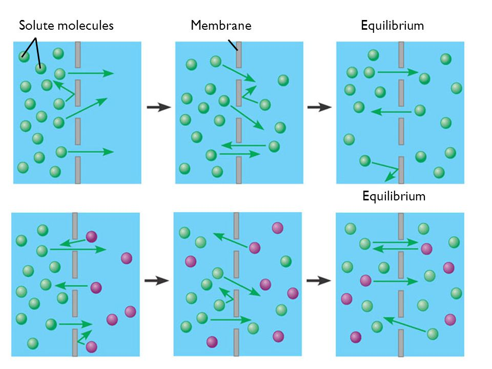 EquilibriumMembraneSolute molecules Equilibrium