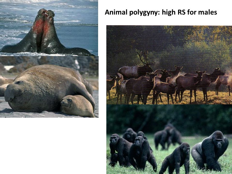Animal polygyny: high RS for males