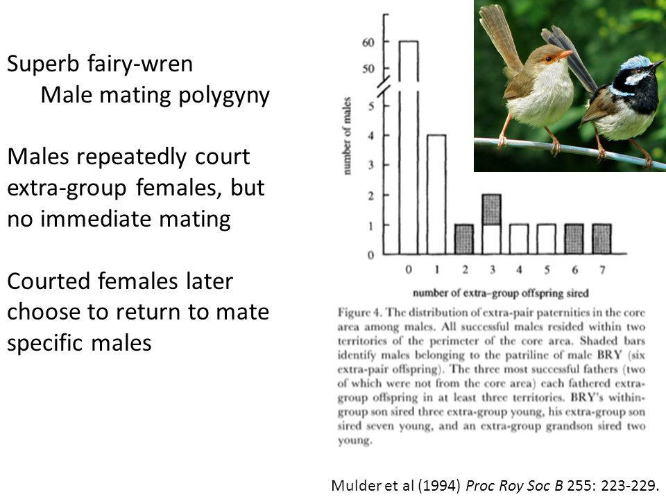 Mulder et al (1994) Proc Roy Soc B 255: 223-229.