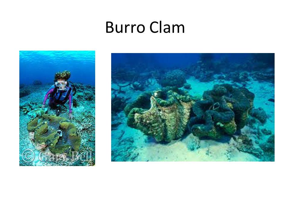 Burro Clam