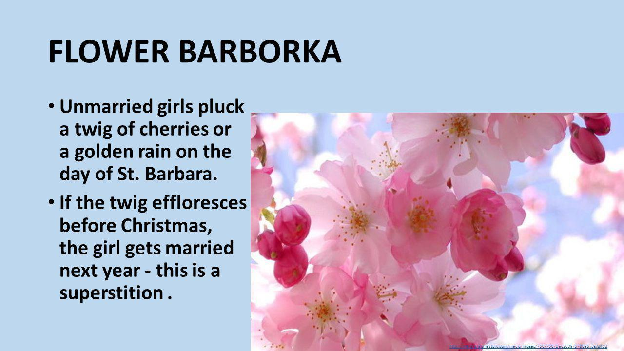 FLOWER BARBORKA Unmarried girls pluck a twig of cherries or a golden rain on the day of St.