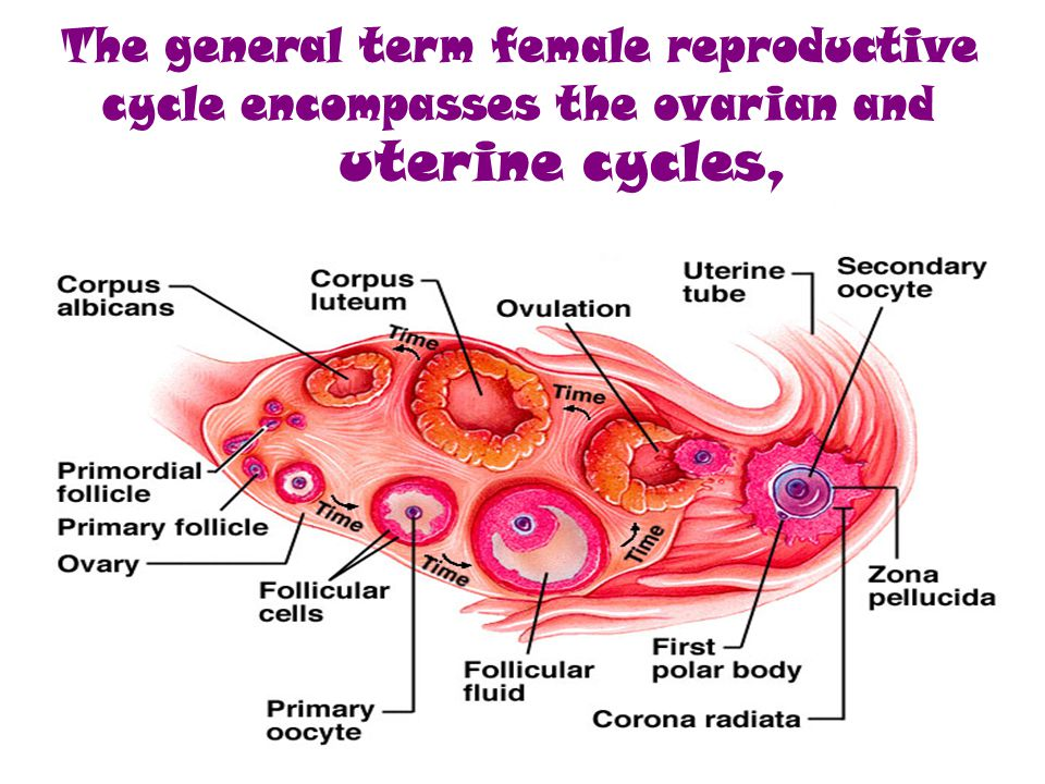 Name of phaseDays menstrual phase1–4 follicular phase (also known as proliferative phase) 5–13 ovulation (not a phase, but an event dividing phases) 14 luteal phase (also known as secretory phase) 15–26 ischemic phase (some sources group this with secretory phase) 27–28