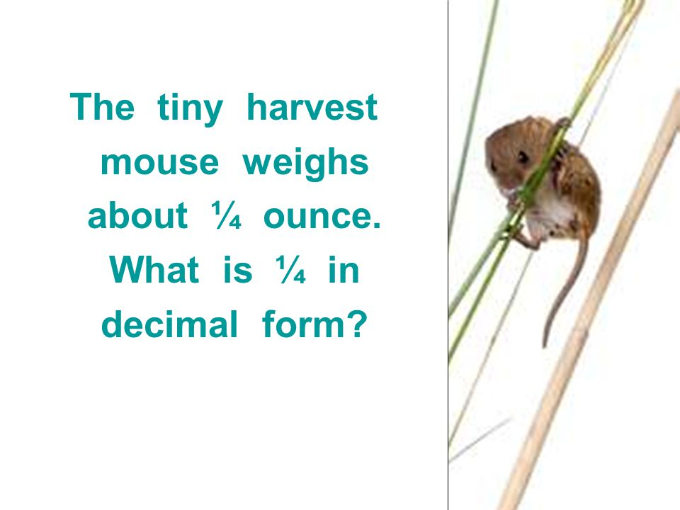 The tiny harvest mouse weighs about ¼ ounce. What is ¼ in decimal form?