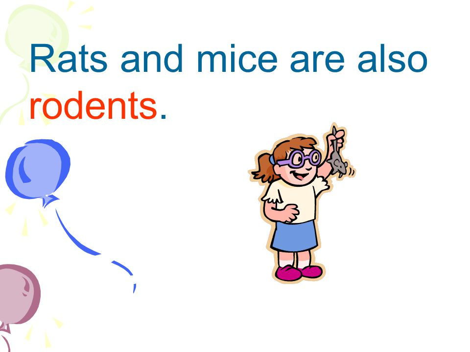 Rats and mice are also rodents.