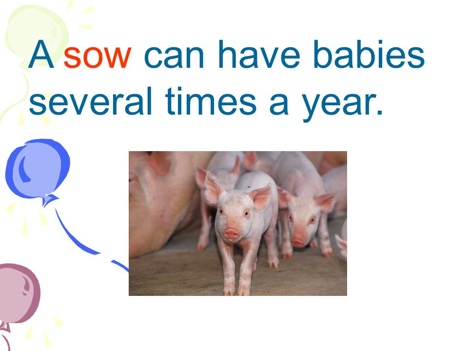 A sow can have babies several times a year.