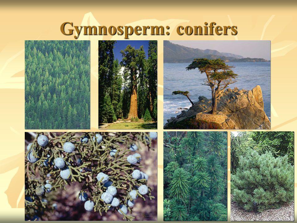 Gymnosperm: conifers