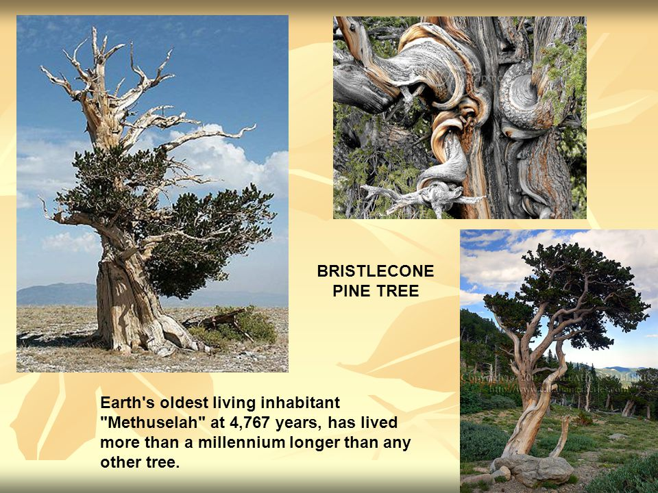 Earth s oldest living inhabitant Methuselah at 4,767 years, has lived more than a millennium longer than any other tree.