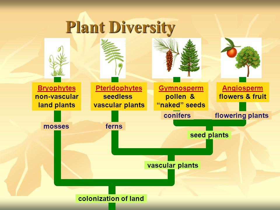 Plant Diversity Bryophytes non-vascular land plants Pteridophytes seedless vascular plants Gymnosperm pollen & naked seeds Angiosperm flowers & fruit