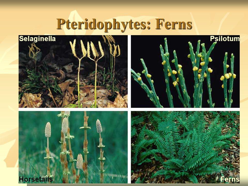 Pteridophytes: Ferns SelaginellaPsilotum HorsetailsFerns