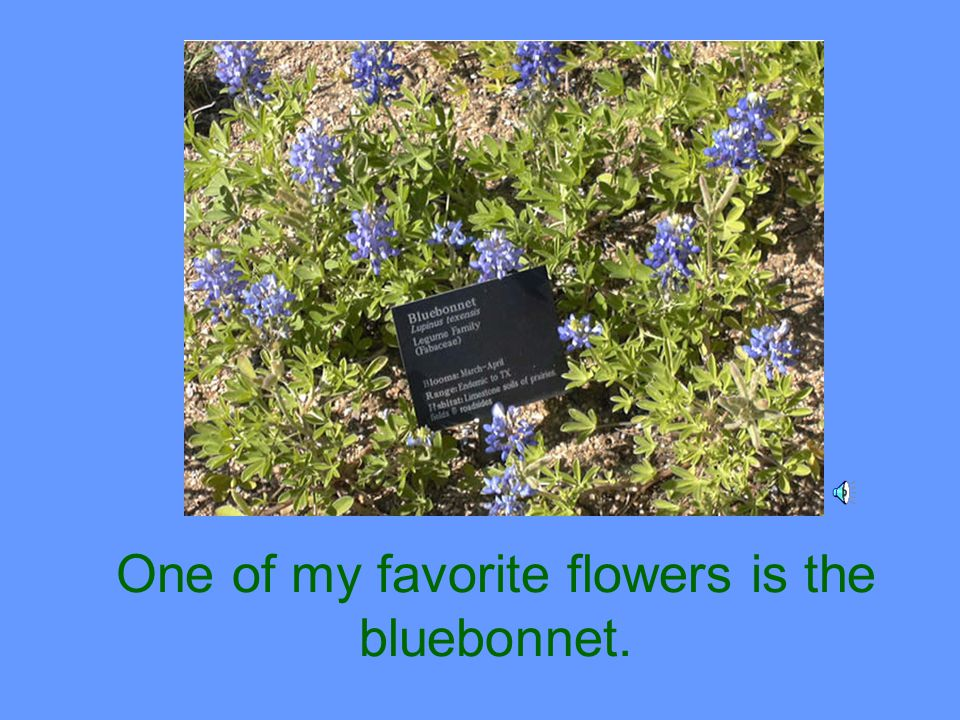 One of my favorite flowers is the bluebonnet.