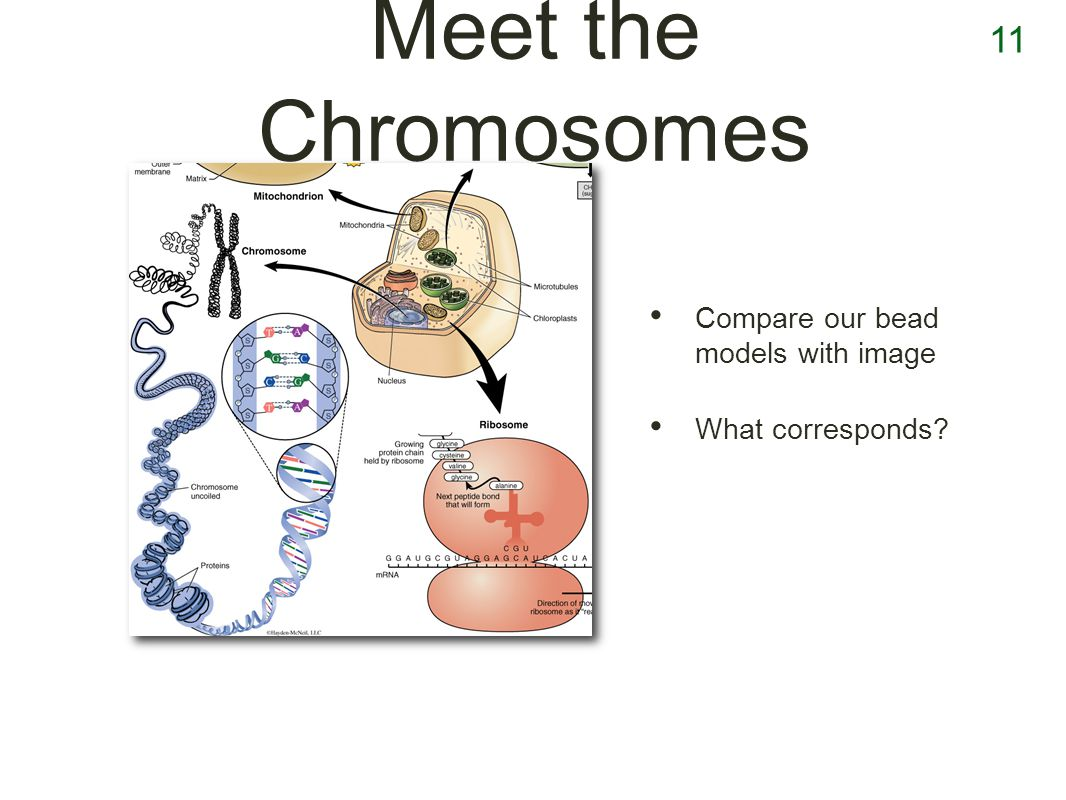 11 Meet the Chromosomes Compare our bead models with image What corresponds