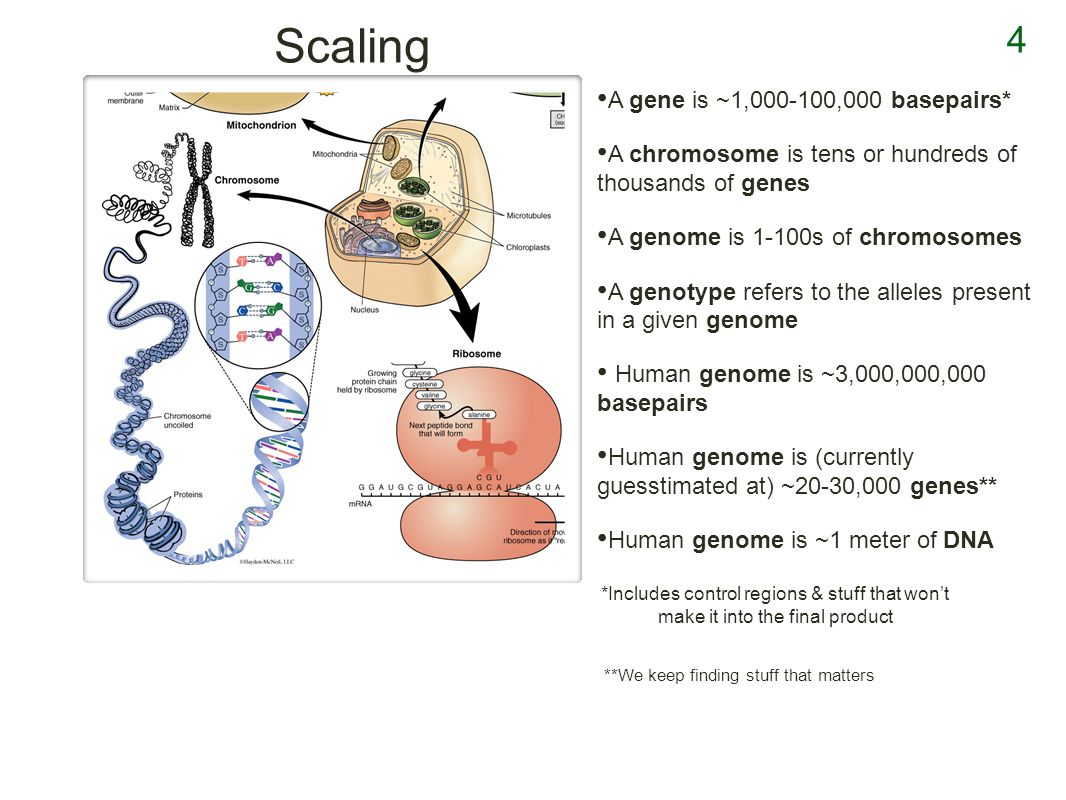 4 Scaling A gene is ~1,000-100,000 basepairs* A chromosome is tens or hundreds of thousands of genes A genome is 1-100s of chromosomes A genotype refers to the alleles present in a given genome Human genome is ~3,000,000,000 basepairs Human genome is (currently guesstimated at) ~20-30,000 genes** Human genome is ~1 meter of DNA *Includes control regions & stuff that wont make it into the final product **We keep finding stuff that matters
