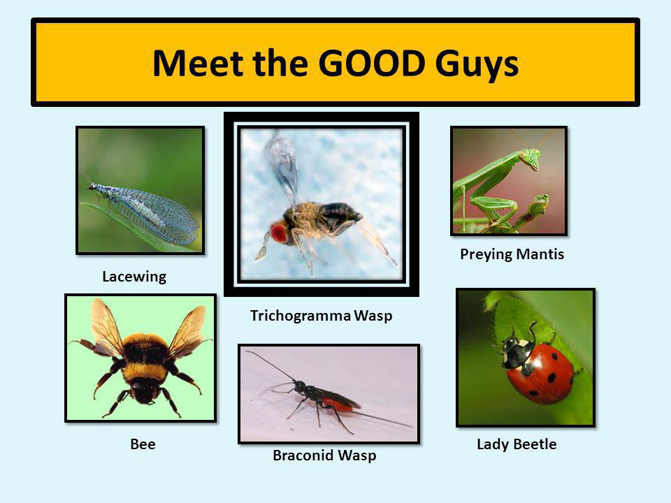 Meet the GOOD Guys Lacewing Bee Braconid Wasp Preying Mantis Lady Beetle Trichogramma Wasp