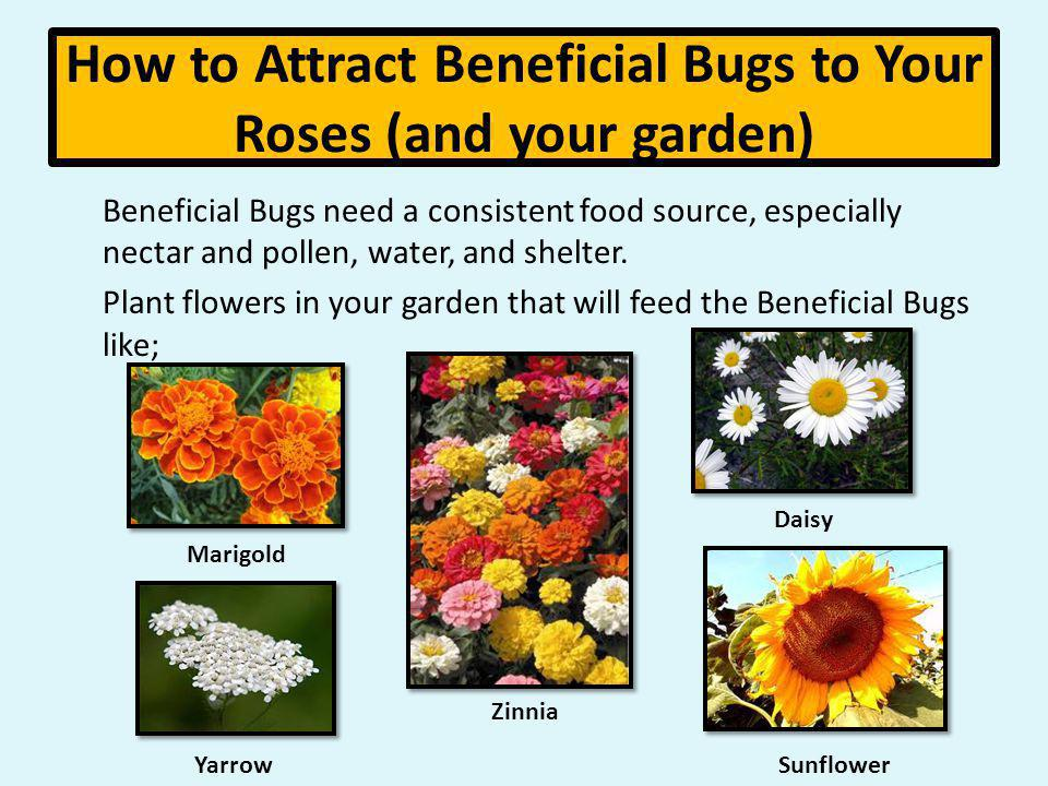 How to Attract Beneficial Bugs to Your Roses (and your garden) Beneficial Bugs need a consistent food source, especially nectar and pollen, water, and